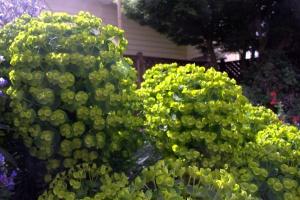 Euphorbia characias 'Bruce's Humpty Dwarf'