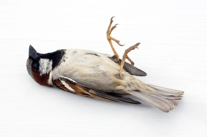 dead-sparrow