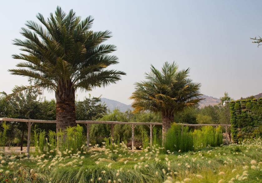 jubaea-chilensis