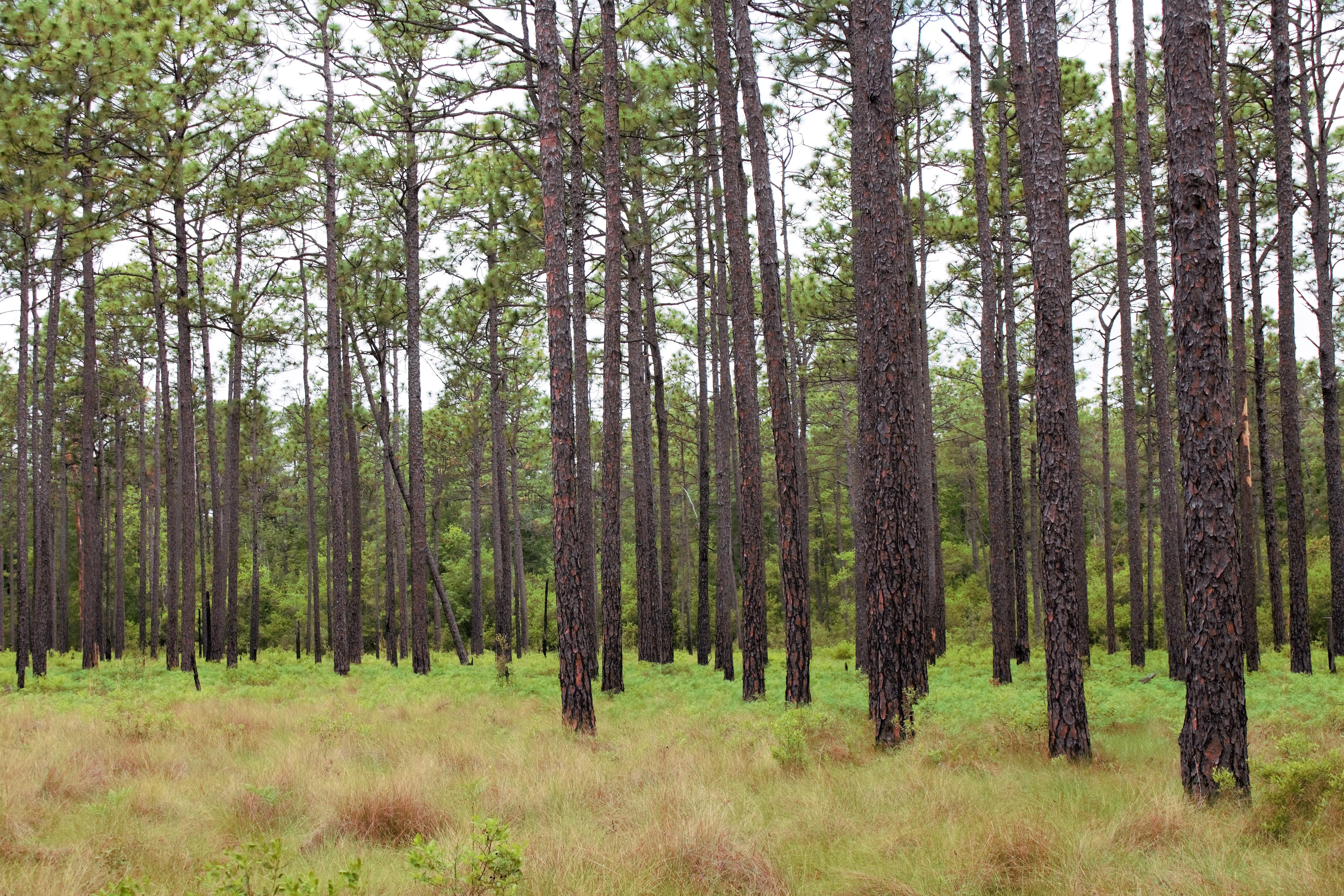 Longleaf pine 1 (2)