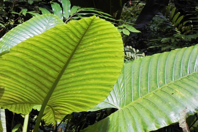 Alocasia robusta (2)