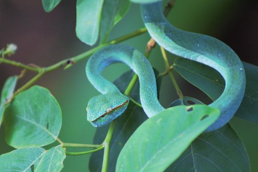 Bornean keeled pit viper 2 (2)