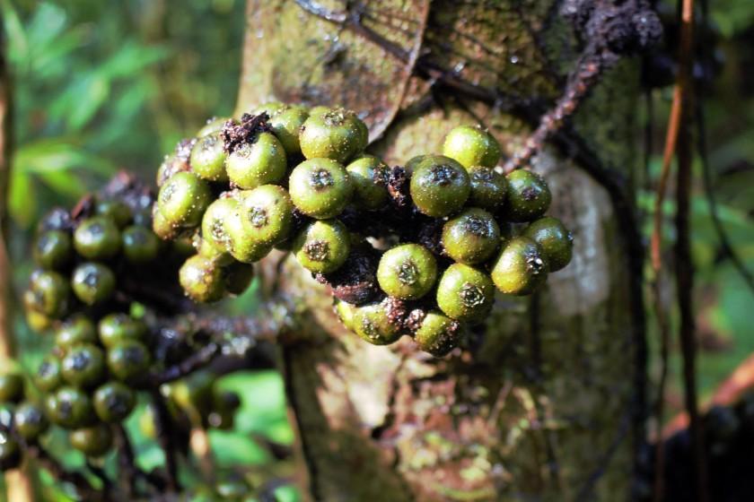 Ficus rosulata 1 (2)