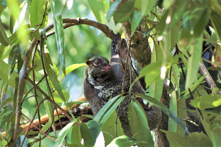 Flying lemur (2)