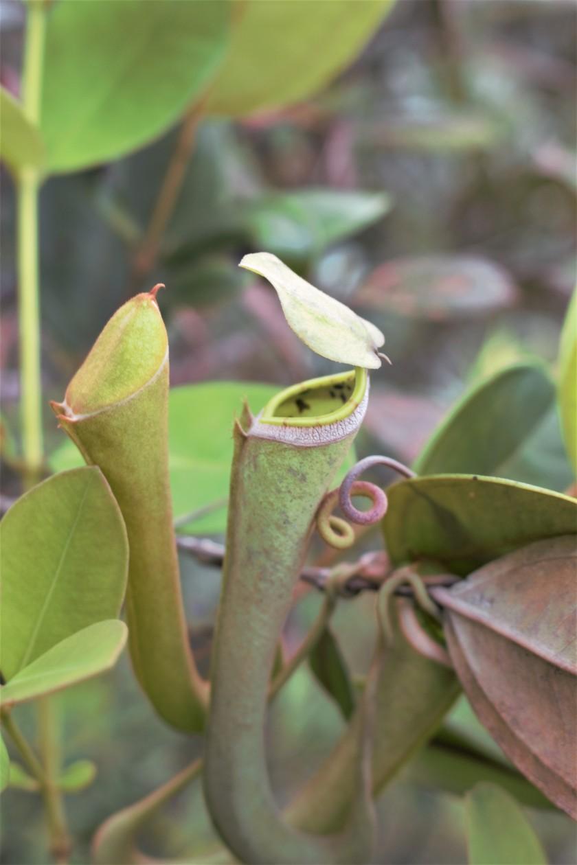 Nepenthes albomarginata (2)