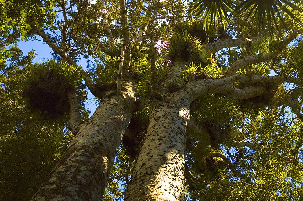 Two_Kauri_Trees